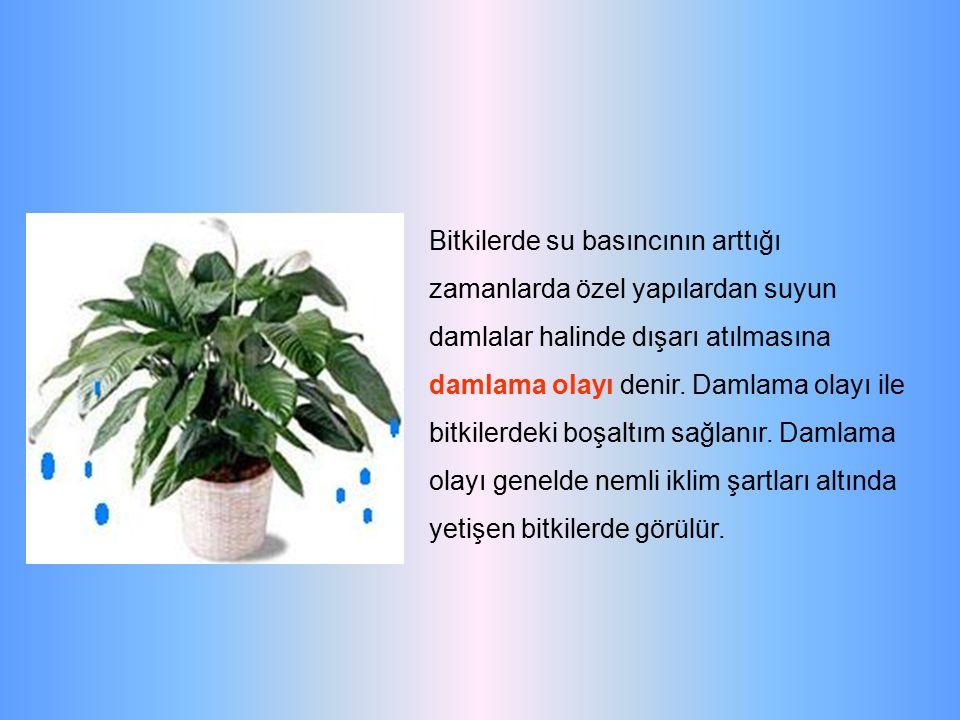 Bitkilerde su basıncının arttığı zamanlarda özel yapılardan suyun damlalar halinde dışarı atılmasına damlama olayı denir. Damlama olayı ile bitkilerde