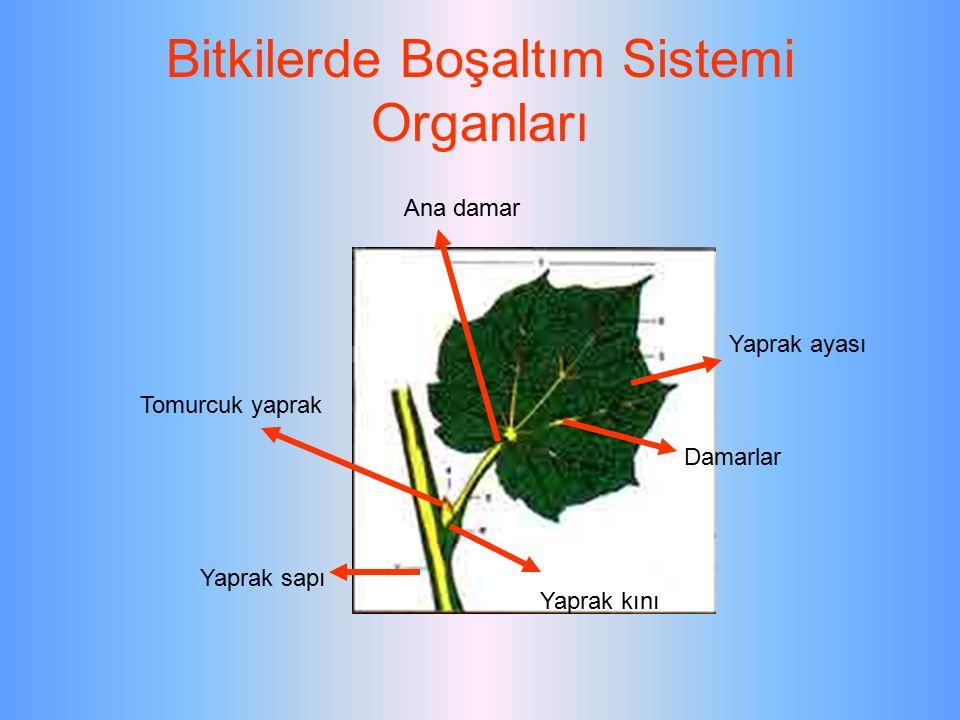 Bitkilerde Boşaltım Sistemi Organları Yaprak sapı Yaprak kını Damarlar Yaprak ayası Ana damar Tomurcuk yaprak