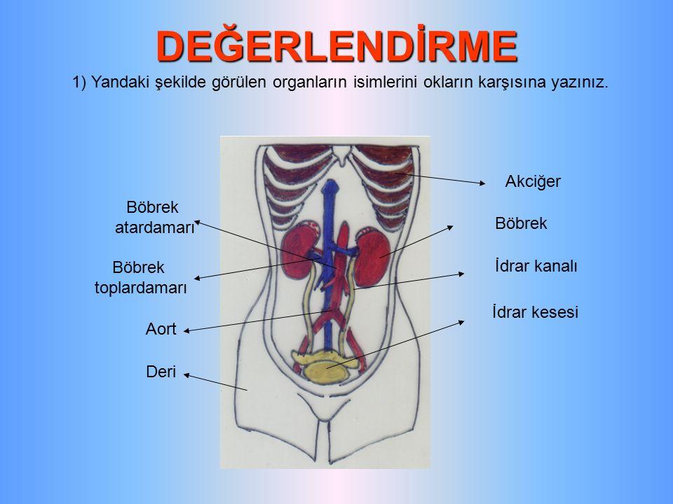 DEĞERLENDİRME 1) Yandaki şekilde görülen organların isimlerini okların karşısına yazınız. Akciğer Böbrek İdrar kanalı İdrar kesesi Deri Aort Böbrek to