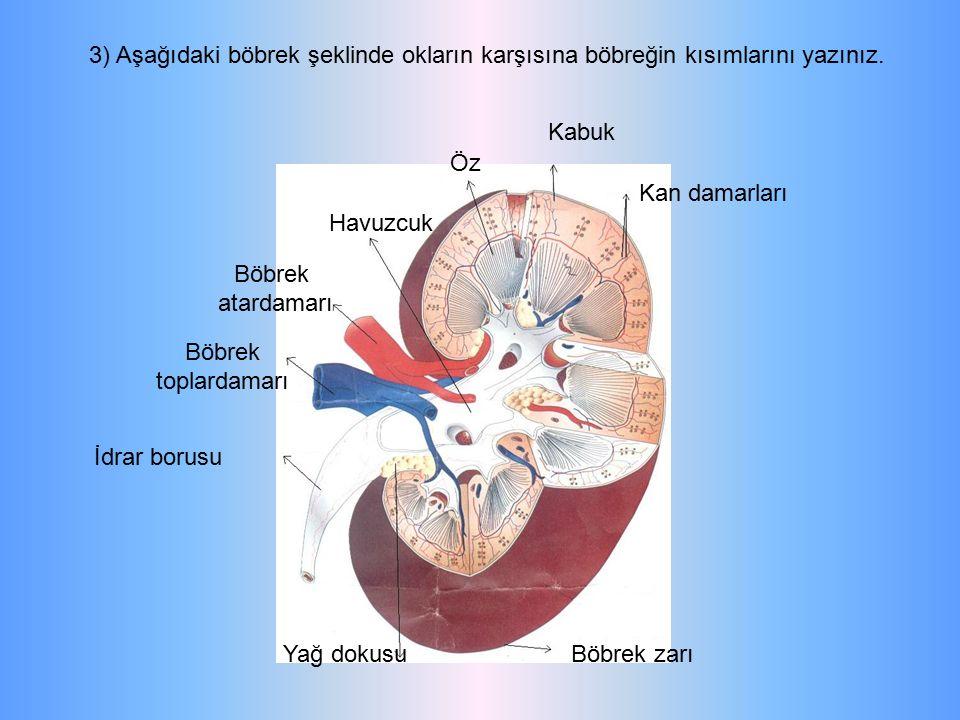 3) Aşağıdaki böbrek şeklinde okların karşısına böbreğin kısımlarını yazınız. Kabuk Kan damarları Öz Havuzcuk Böbrek atardamarı Böbrek toplardamarı İdr