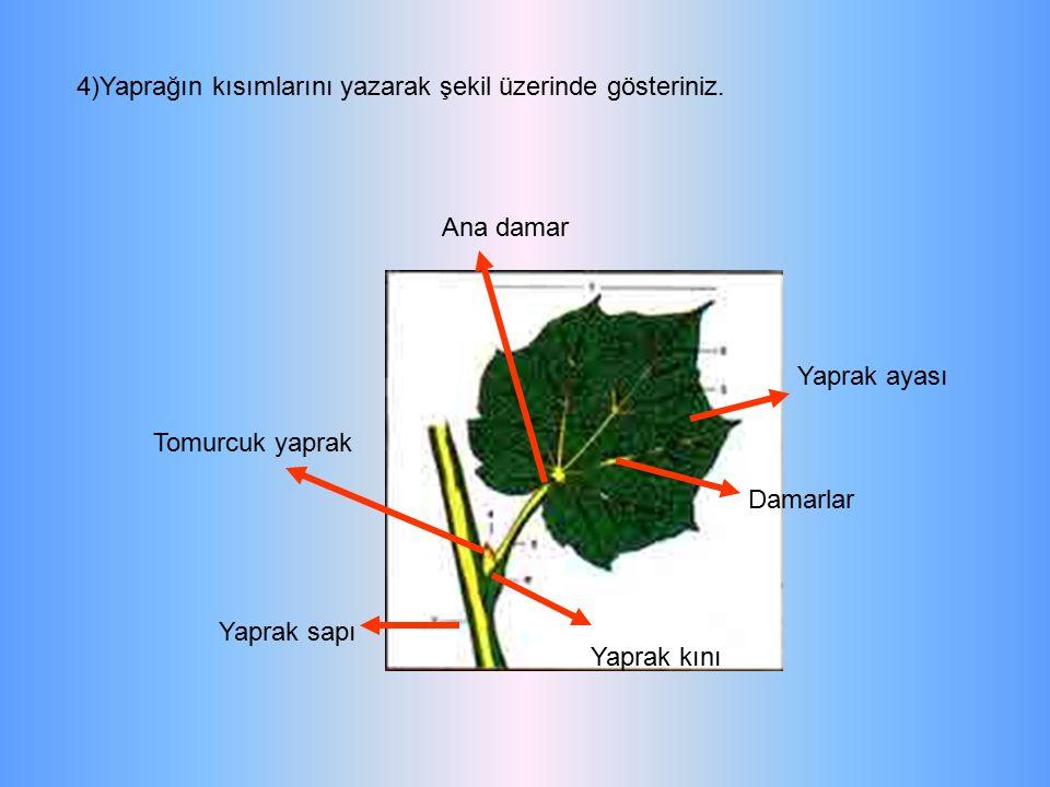 4)Yaprağın kısımlarını yazarak şekil üzerinde gösteriniz. Yaprak sapı Yaprak kını Damarlar Yaprak ayası Tomurcuk yaprak Ana damar
