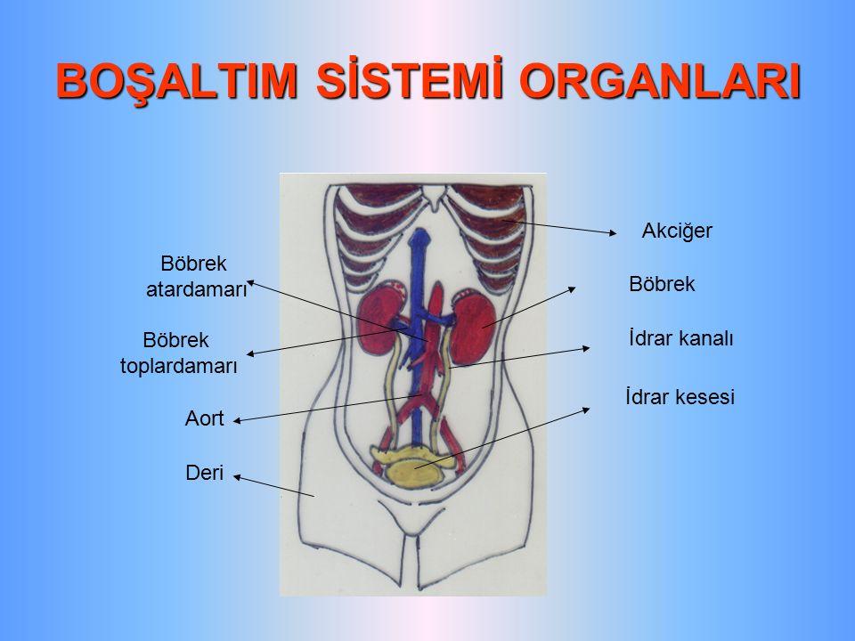 BOŞALTIM SİSTEMİ ORGANLARI Akciğer Böbrek İdrar kanalı İdrar kesesi Deri Aort Böbrek toplardamarı Böbrek atardamarı