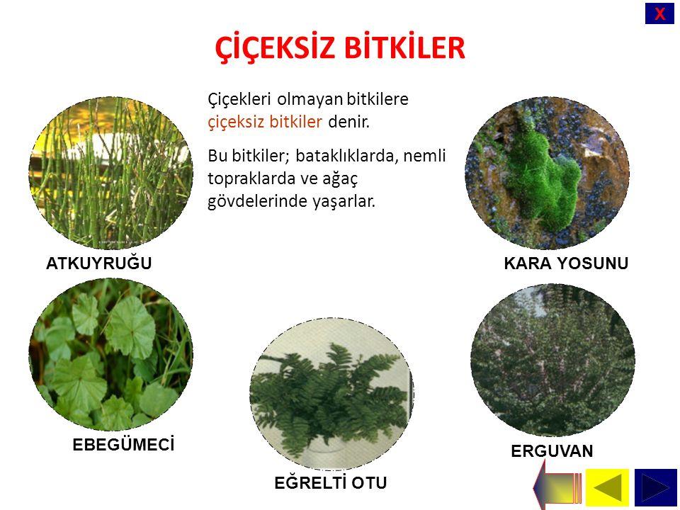 X ÇİÇEKSİZ BİTKİLER Çiçekleri olmayan bitkilere çiçeksiz bitkiler denir.