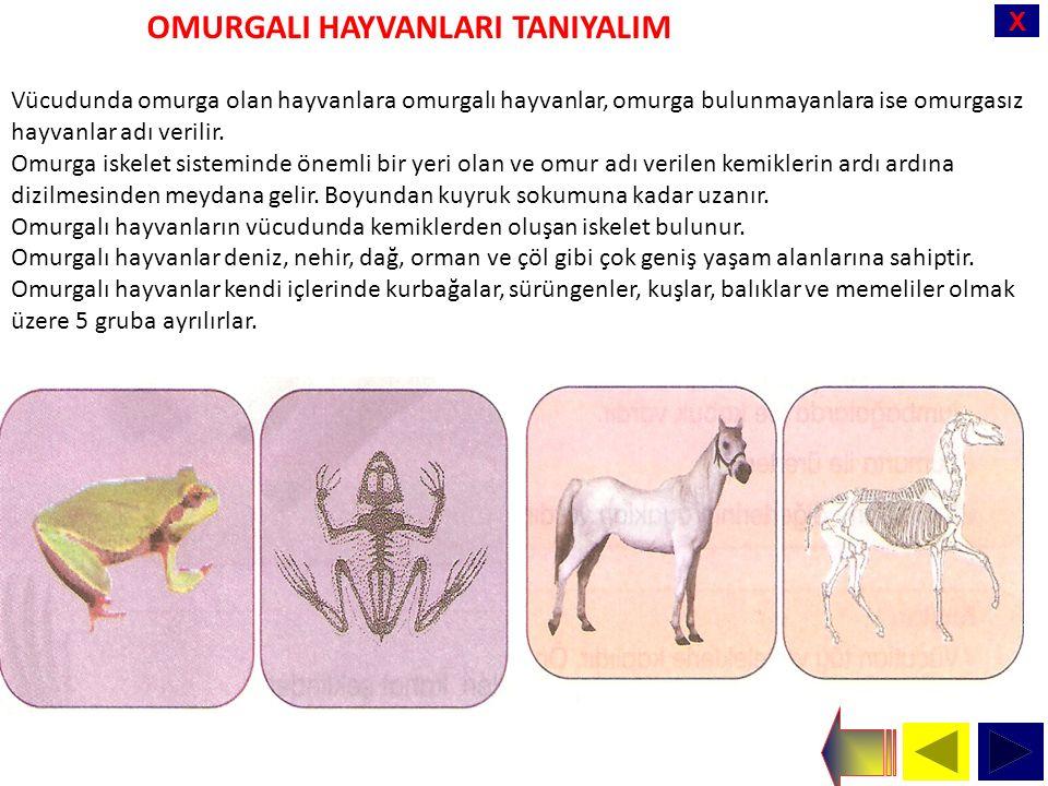X Vücudunda omurga olan hayvanlara omurgalı hayvanlar, omurga bulunmayanlara ise omurgasız hayvanlar adı verilir.