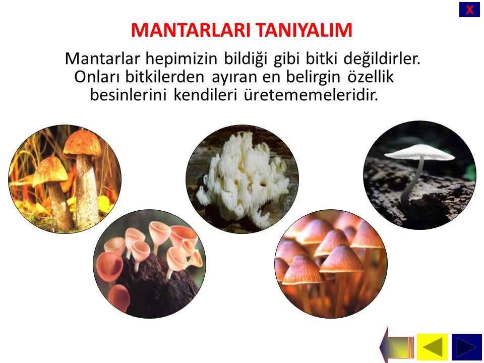 X MANTARLARI TANIYALIM Mantarlar hepimizin bildiği gibi bitki değildirler.
