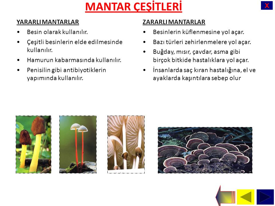 X MANTAR ÇEŞİTLERİ YARARLI MANTARLAR Besin olarak kullanılır.