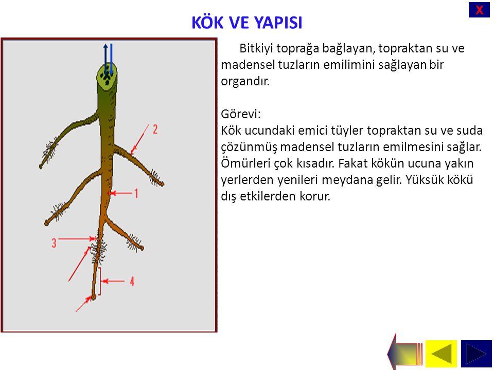X KÖK VE YAPISI Bitkiyi toprağa bağlayan, topraktan su ve madensel tuzların emilimini sağlayan bir organdır.