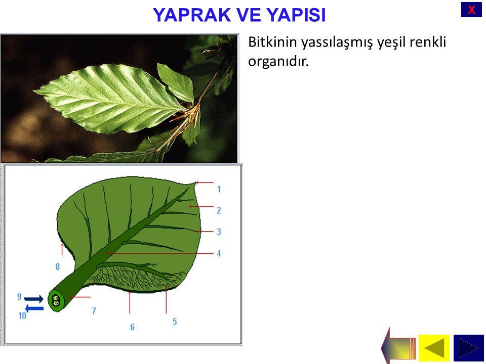 X YAPRAK VE YAPISI Bitkinin yassılaşmış yeşil renkli organıdır.