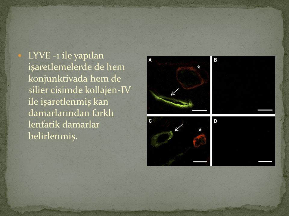 LYVE -1 ile yapılan işaretlemelerde de hem konjunktivada hem de silier cisimde kollajen-IV ile işaretlenmiş kan damarlarından farklı lenfatik damarlar belirlenmiş.