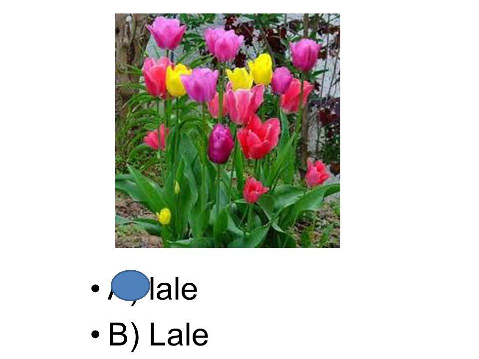 A) lale B) Lale