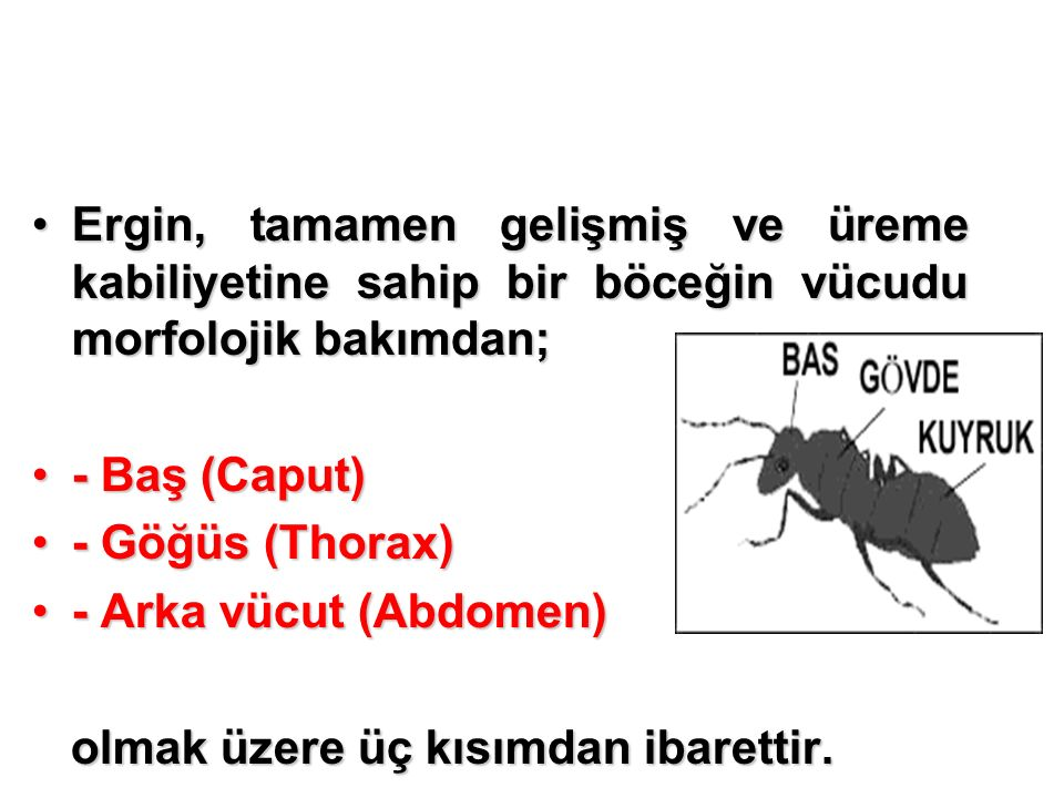 Ergin, tamamen gelişmiş ve üreme kabiliyetine sahip bir böceğin vücudu morfolojik bakımdan;Ergin, tamamen gelişmiş ve üreme kabiliyetine sahip bir böceğin vücudu morfolojik bakımdan; - Baş (Caput)- Baş (Caput) - Göğüs (Thorax)- Göğüs (Thorax) - Arka vücut (Abdomen)- Arka vücut (Abdomen) olmak üzere üç kısımdan ibarettir.