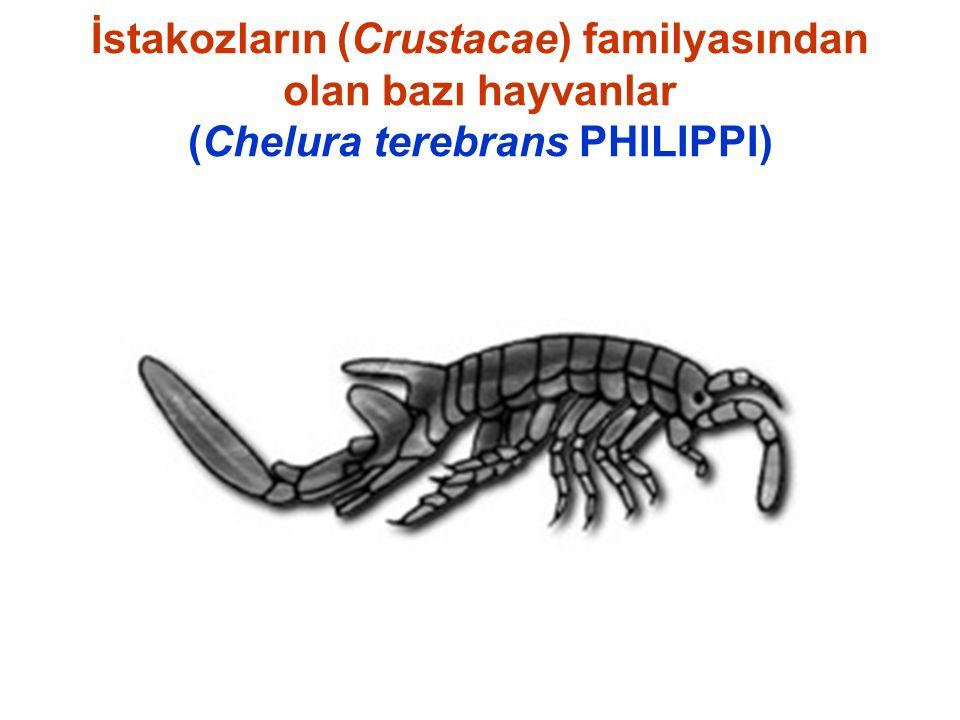 İstakozların (Crustacae) familyasından olan bazı hayvanlar (Chelura terebrans PHILIPPI)