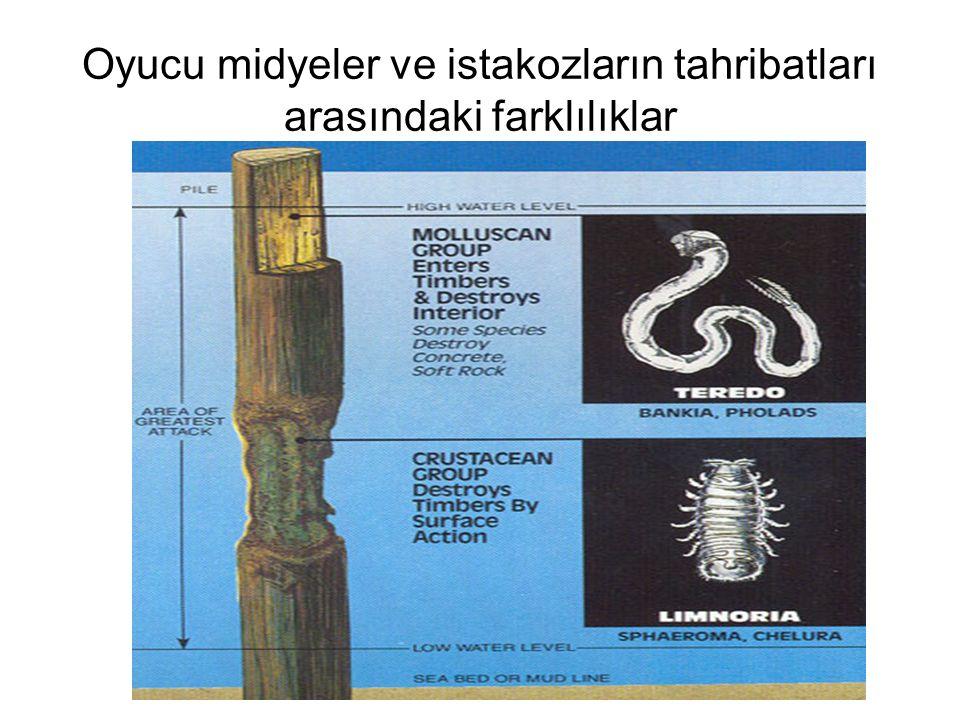 Oyucu midyeler ve istakozların tahribatları arasındaki farklılıklar
