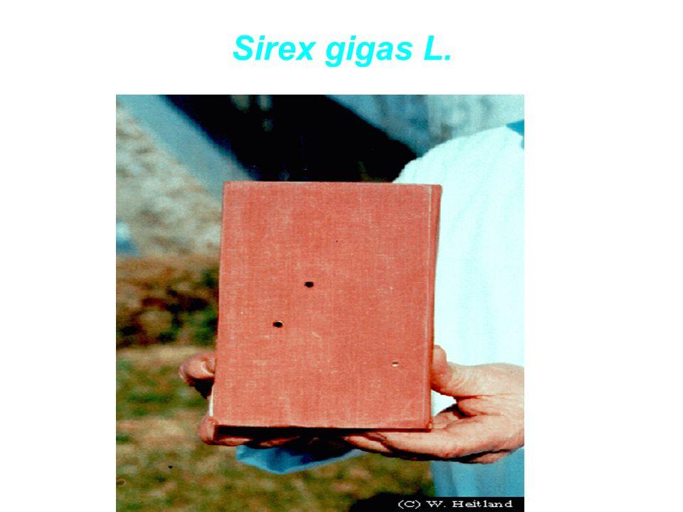 Sirex gigas L.