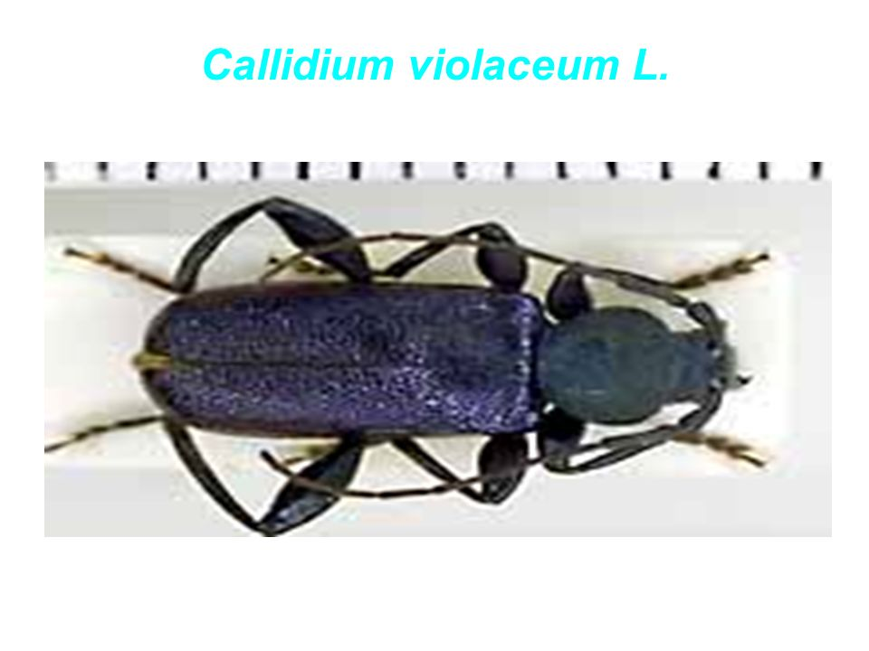 Callidium violaceum L.
