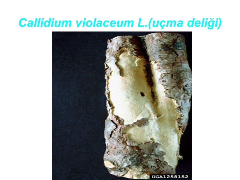 Callidium violaceum L.(uçma deliği)