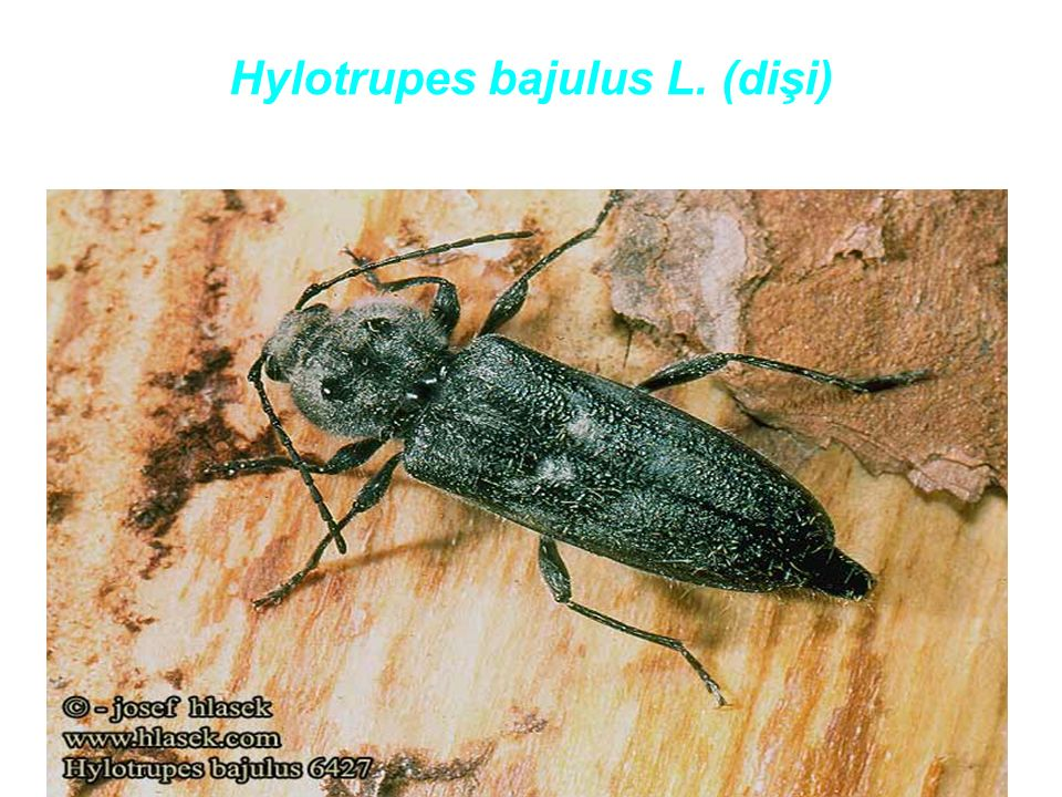 Hylotrupes bajulus L. (dişi)