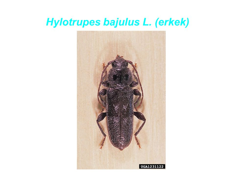 Hylotrupes bajulus L. (erkek)