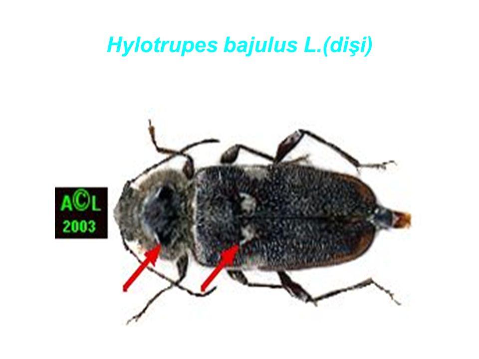 Hylotrupes bajulus L.(dişi)