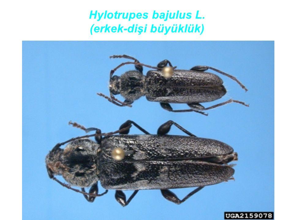 Hylotrupes bajulus L. (erkek-dişi büyüklük)