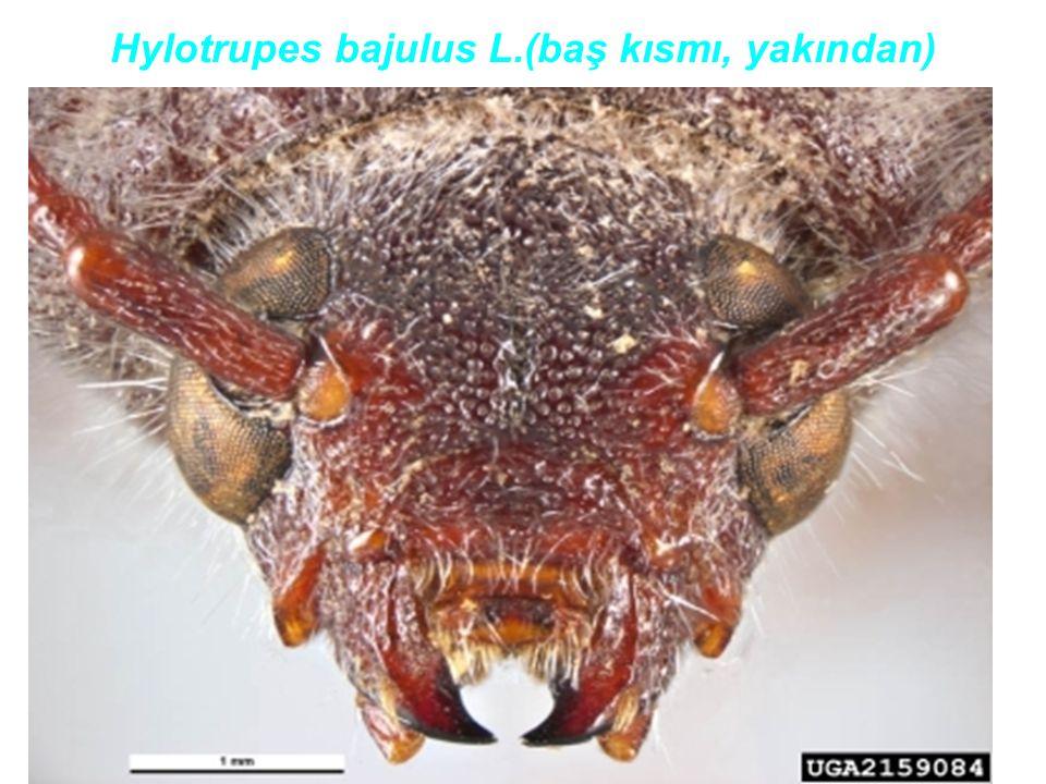 Hylotrupes bajulus L.(baş kısmı, yakından)