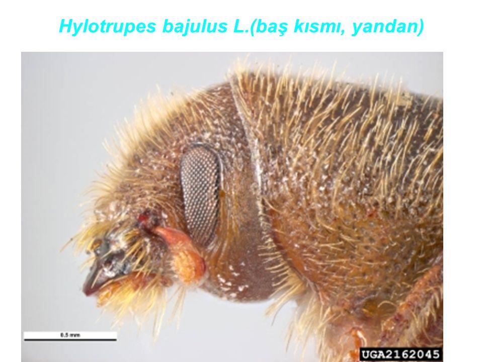 Hylotrupes bajulus L.(baş kısmı, yandan)