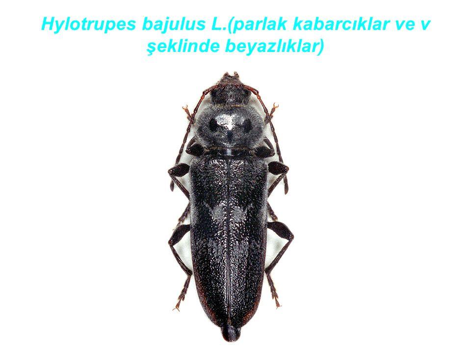 Hylotrupes bajulus L.(parlak kabarcıklar ve v şeklinde beyazlıklar)