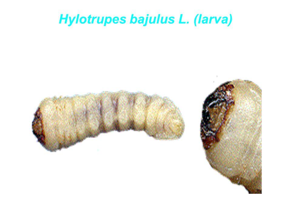 Hylotrupes bajulus L. (larva)