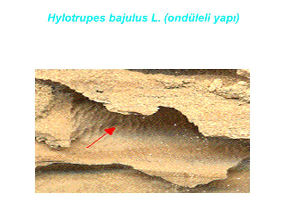 Hylotrupes bajulus L. (ondüleli yapı)