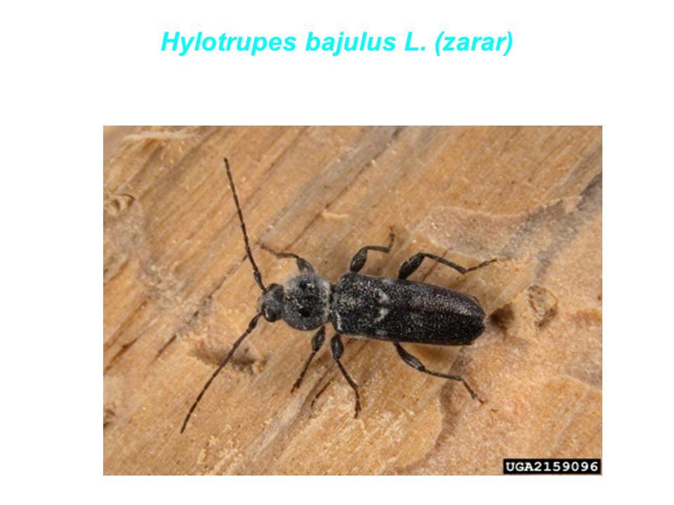 Hylotrupes bajulus L. (zarar)