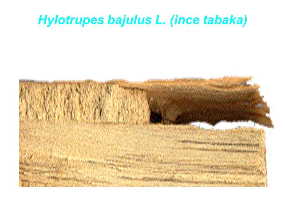 Hylotrupes bajulus L. (ince tabaka)
