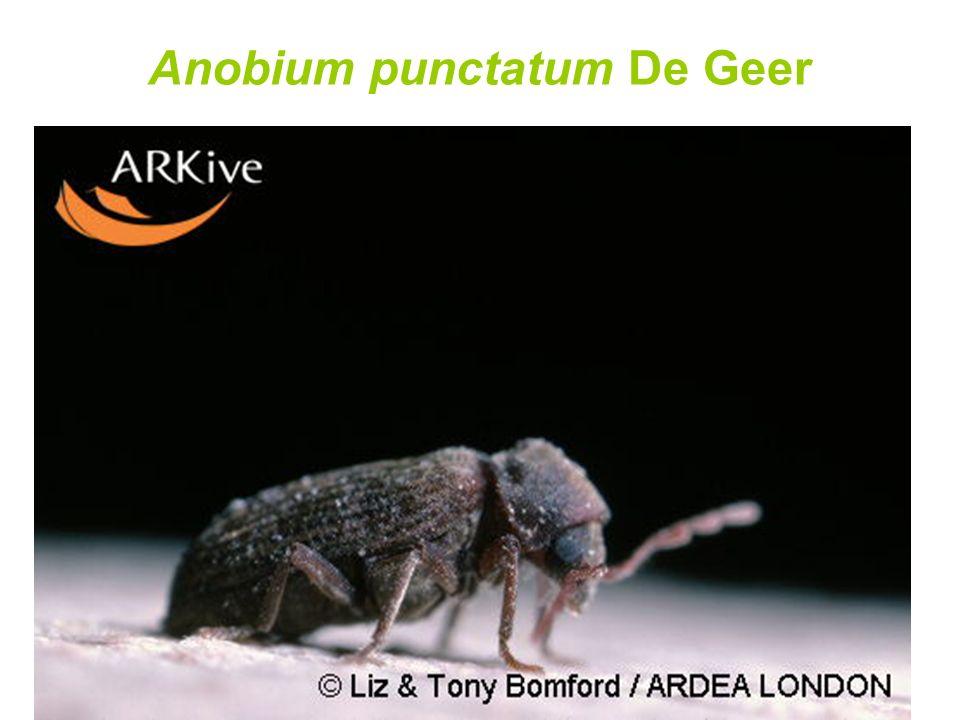 Anobium punctatum De Geer