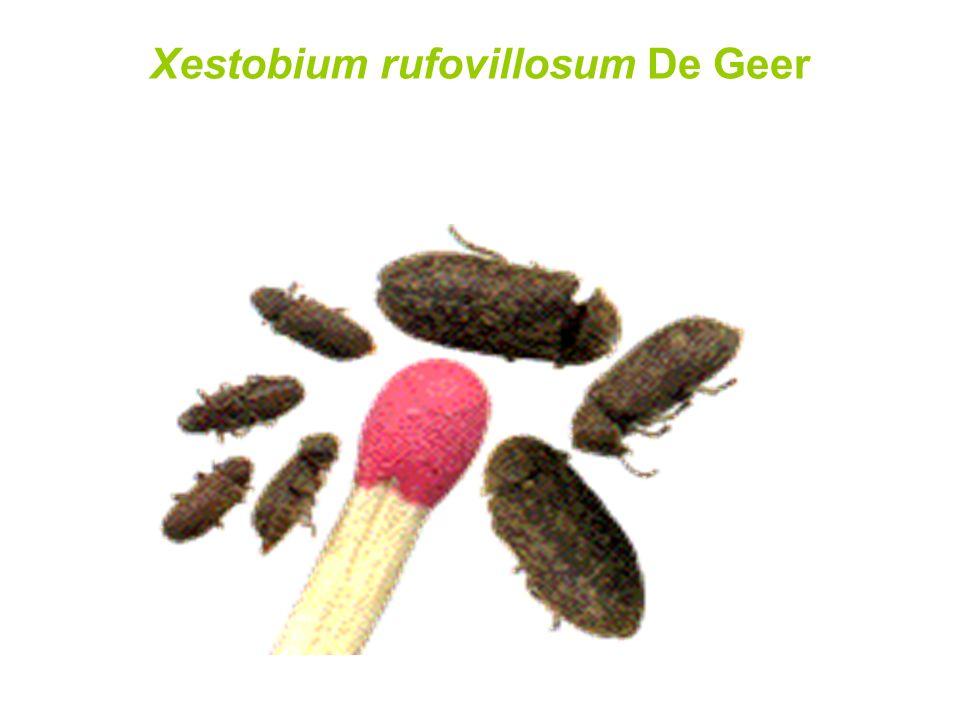 Xestobium rufovillosum De Geer
