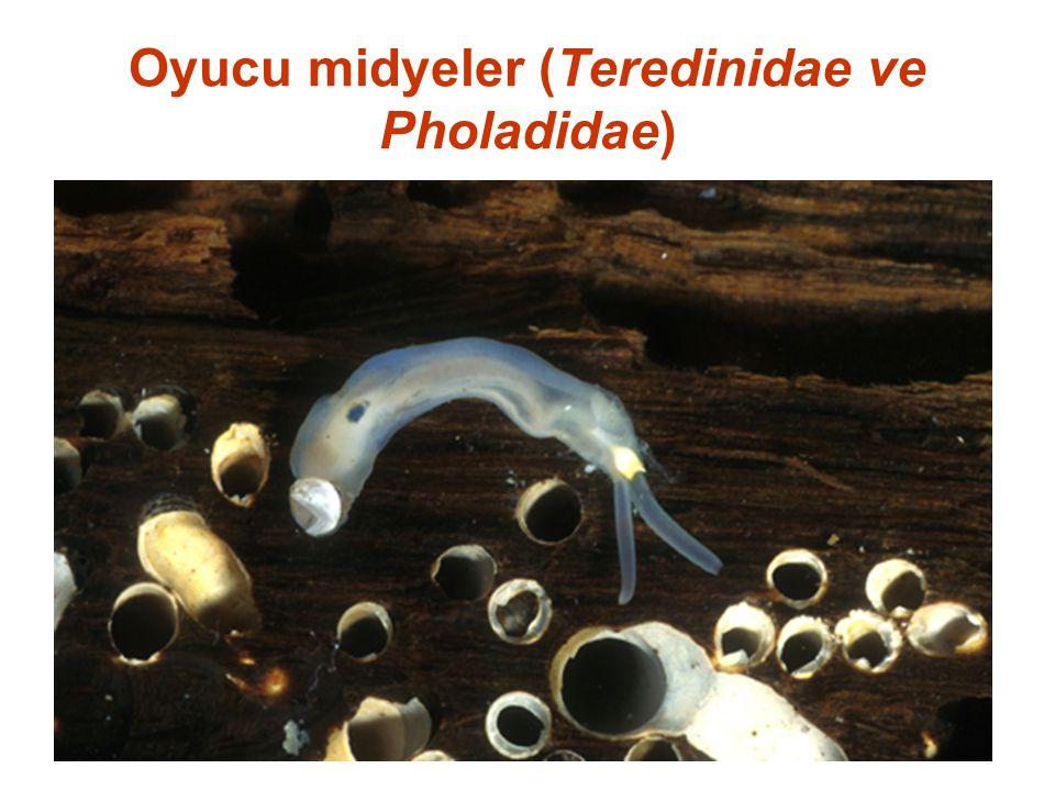 Oyucu midyeler (Teredinidae ve Pholadidae)