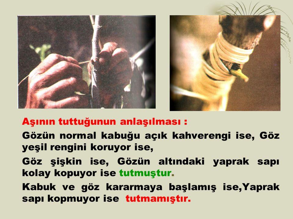 Aşının tuttuğunun anlaşılması : Gözün normal kabuğu açık kahverengi ise, Göz yeşil rengini koruyor ise, Göz şişkin ise, Gözün altındaki yaprak sapı kolay kopuyor ise tutmuştur.