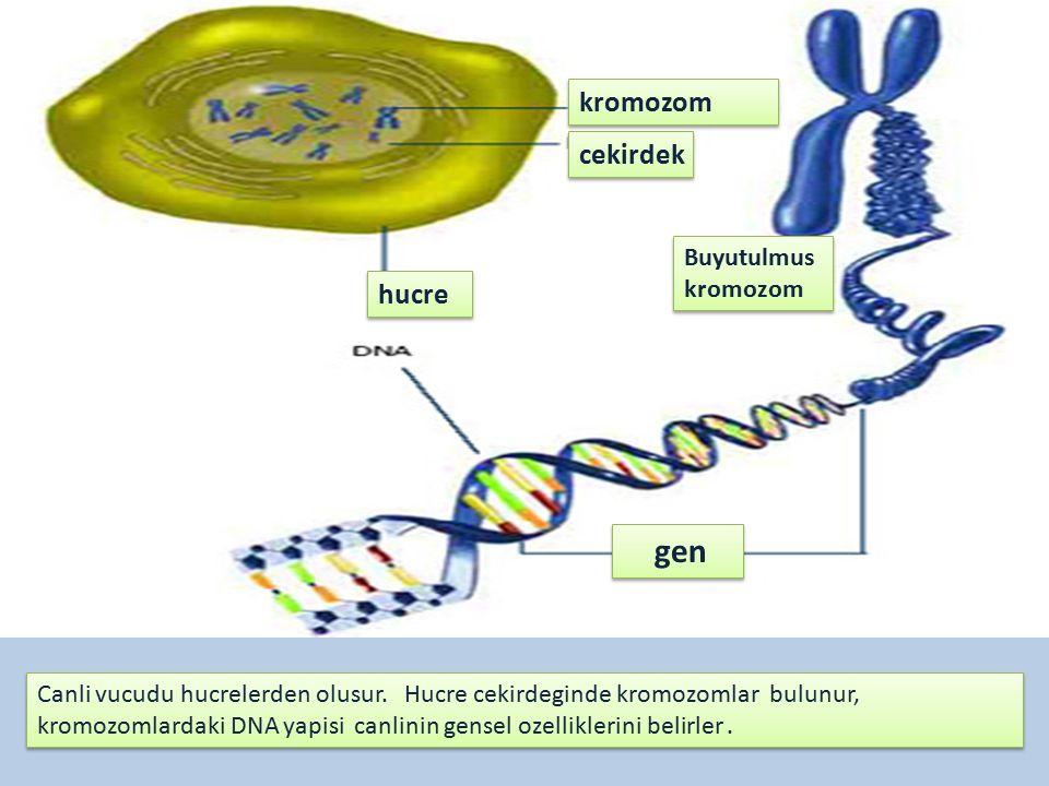 hucre cekirdek kromozom Buyutulmus kromozom Buyutulmus kromozom gen Canli vucudu hucrelerden olusur.