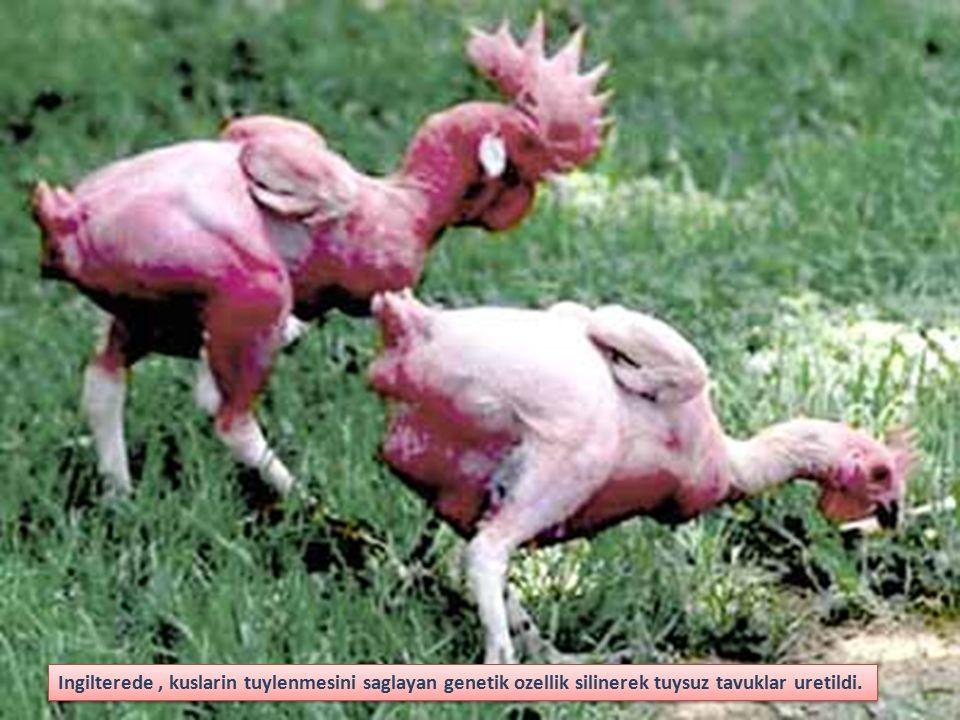 Ingilterede, kuslarin tuylenmesini saglayan genetik ozellik silinerek tuysuz tavuklar uretildi.