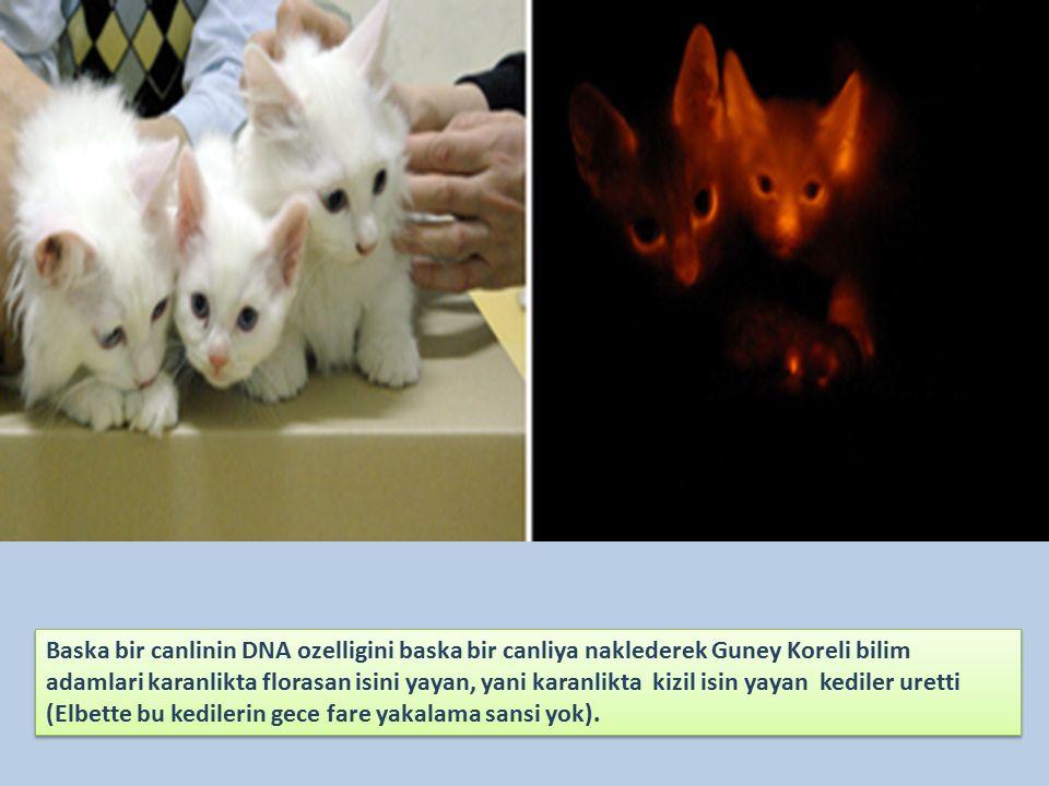 Baska bir canlinin DNA ozelligini baska bir canliya naklederek Guney Koreli bilim adamlari karanlikta florasan isini yayan, yani karanlikta kizil isin yayan kediler uretti (Elbette bu kedilerin gece fare yakalama sansi yok).