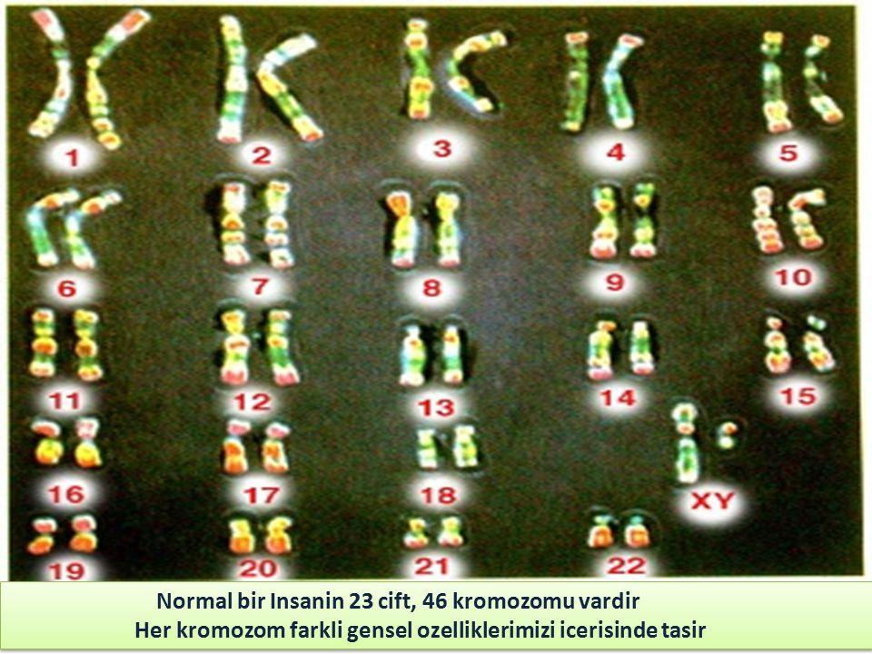 Normal bir Insanin 23 cift, 46 kromozomu vardir Her kromozom farkli gensel ozelliklerimizi icerisinde tasir Normal bir Insanin 23 cift, 46 kromozomu vardir Her kromozom farkli gensel ozelliklerimizi icerisinde tasir