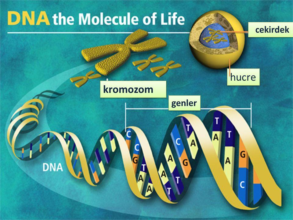 hucre cekirdek kromozom genler