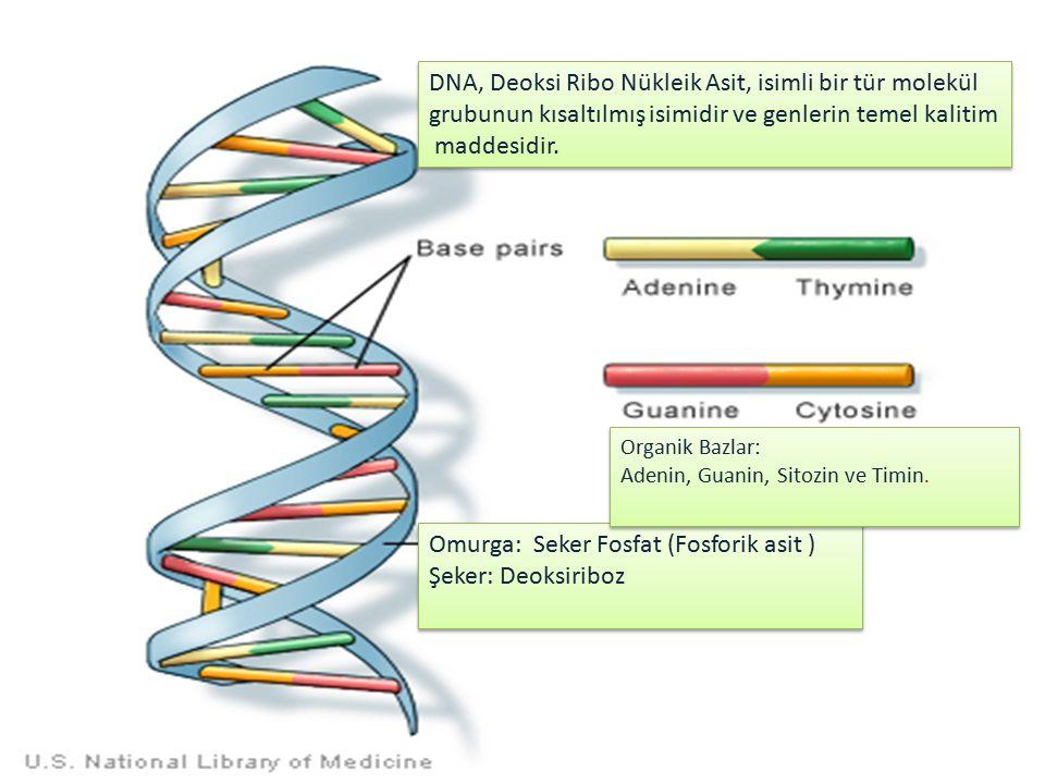 DNA, Deoksi Ribo Nükleik Asit, isimli bir tür molekül grubunun kısaltılmış isimidir ve genlerin temel kalitim maddesidir.