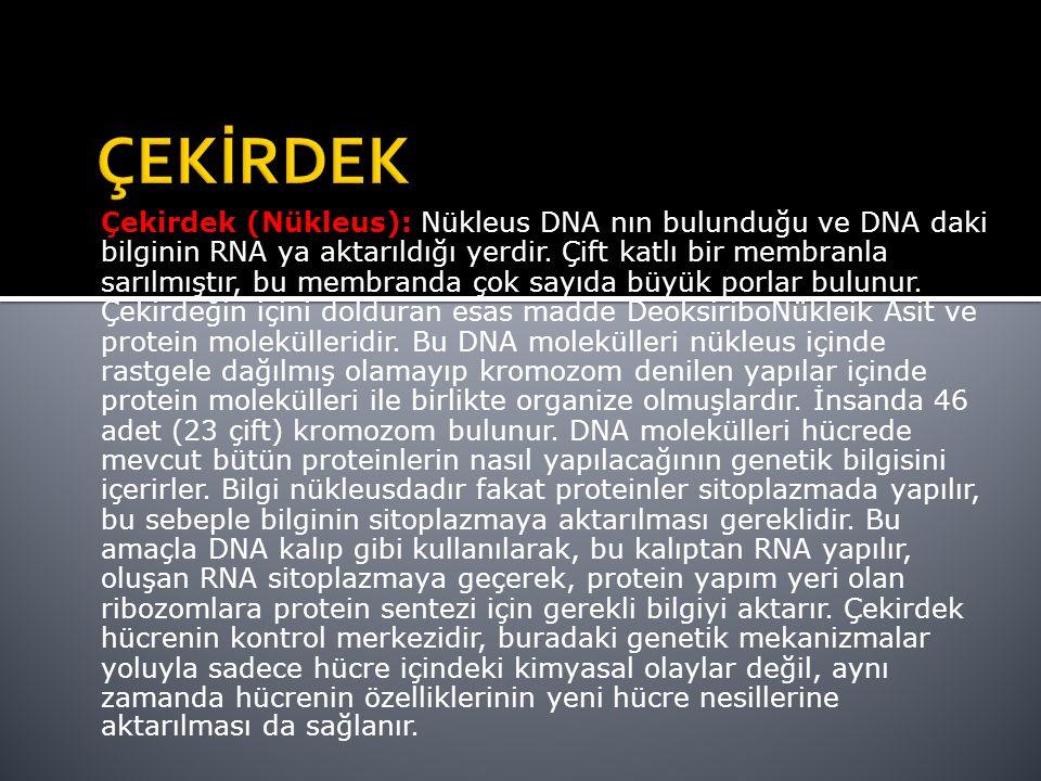 Çekirdek (Nükleus): Nükleus DNA nın bulunduğu ve DNA daki bilginin RNA ya aktarıldığı yerdir.