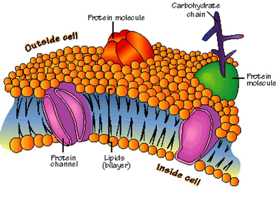  Boyları 0,2-5 mikron arasında değişir.