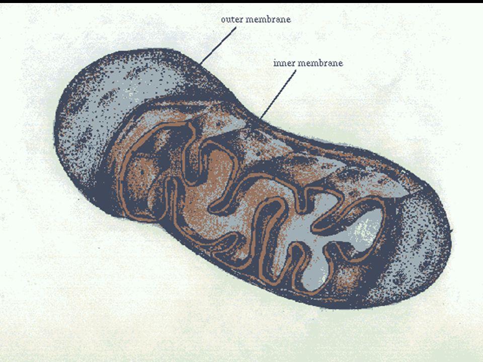 Lisozomlar Christian De Duve tarafından,hücrenin elektron mikroskobuyla incelenmesi sonucu bulunmuştur.