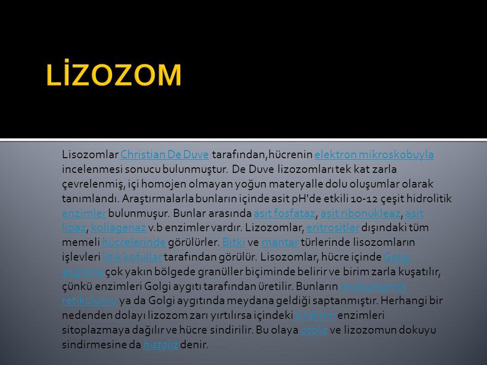 Lisozomlar Christian De Duve tarafından,hücrenin elektron mikroskobuyla incelenmesi sonucu bulunmuştur. De Duve lizozomları tek kat zarla çevrelenmiş,
