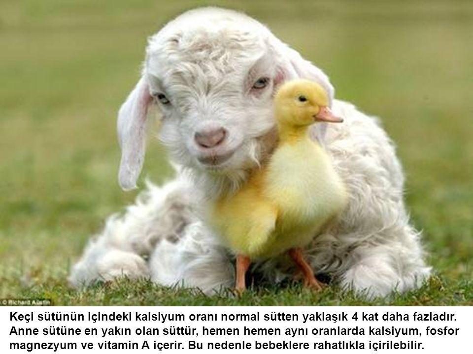 Avrupa'da doğal bir ilaç olarak kabul edilen keçi sütünün faydaları saymakla bitmiyor.