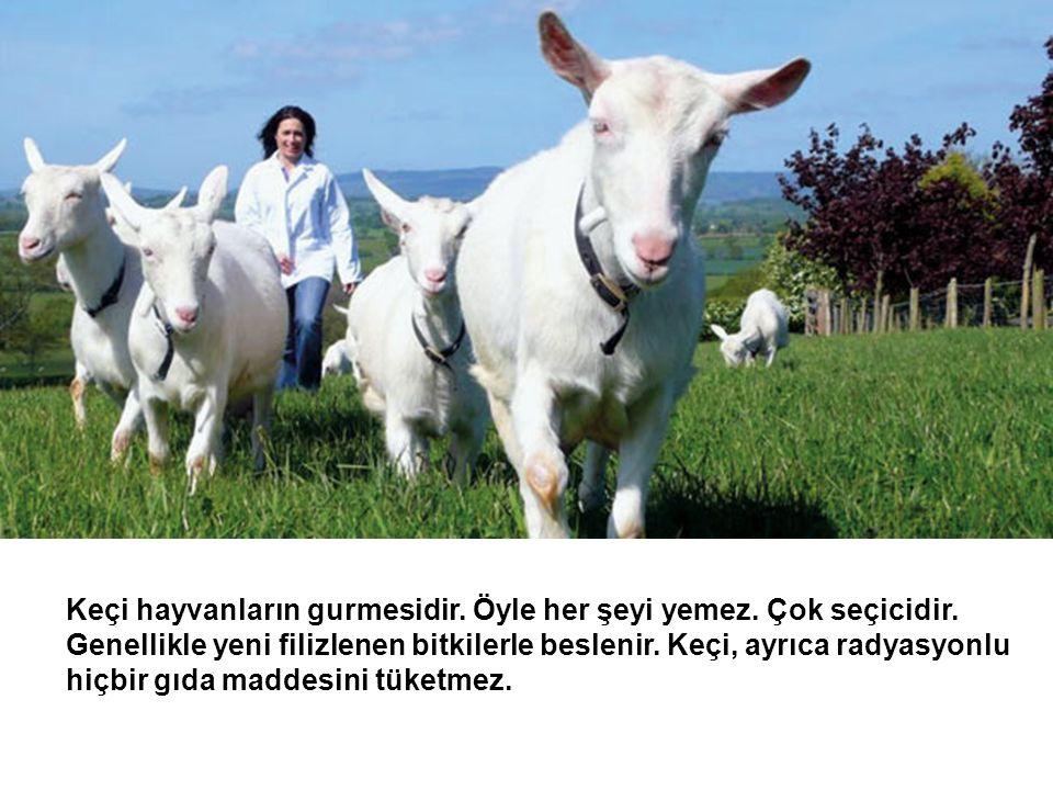 Keçi sadece doğal yollardan yani ağaç yaprakları ve ot yediği için, eti ve sütü doğaldır.