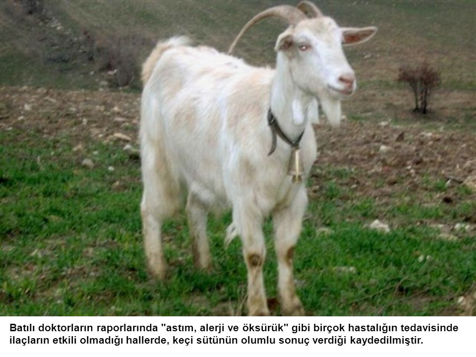 Keçi doğada otlanır. Ahırda beslenmediği için suni yem yemez.