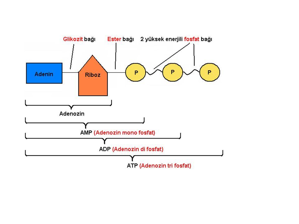 İş yapan bir organizma sürekli olarak ATP kullanır ve ATP yenilenebilen bir kaynaktır ADP ye bir fosfat grubu bağlanarak ATP sentezlenmesi olayına fosforilasyon, yıkımına ise defosforilasyon denir.