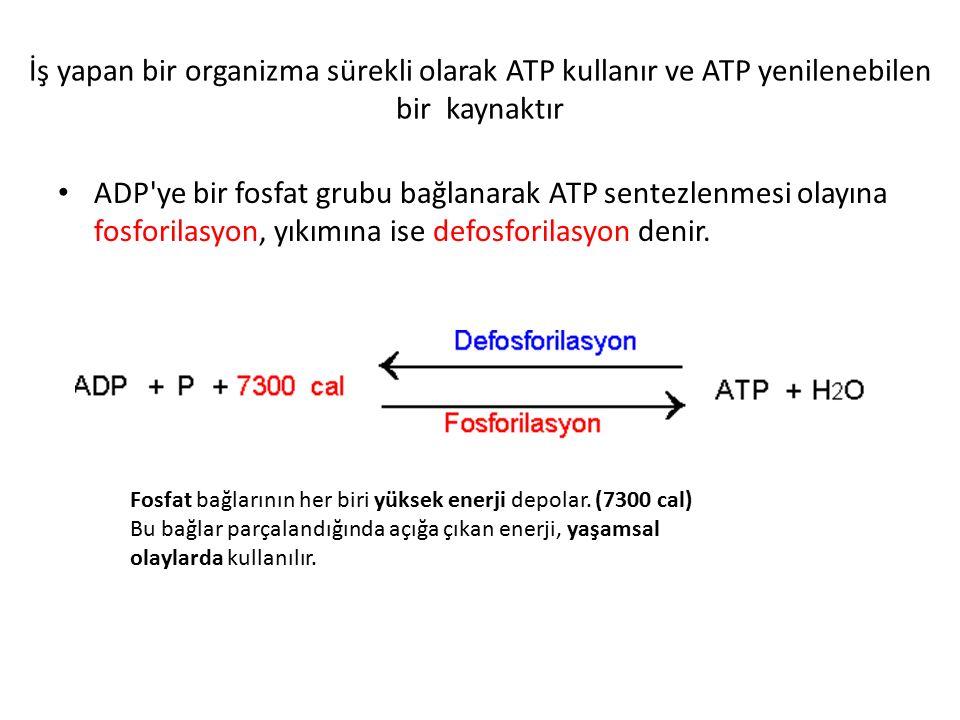 Canlılar ATP dışında başka bir molekülü enerji amacıyla doğrudan kullanamaz.